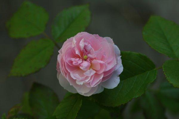 Arcata_Pink_Globe.JPG