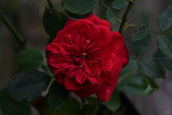Geranium_Red17.jpg