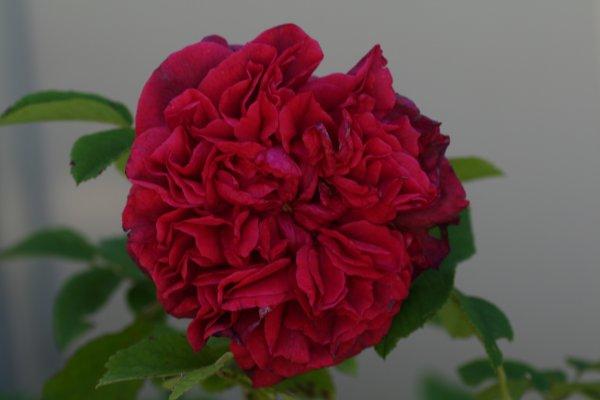 Geranium_Red19.jpg
