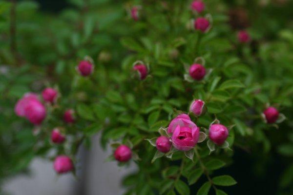 Petite_Pink_Scotch16.jpg