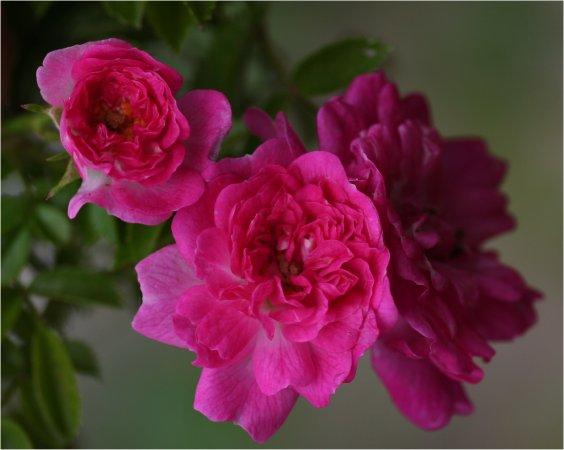 Petite_Pink_Scotch25.jpg