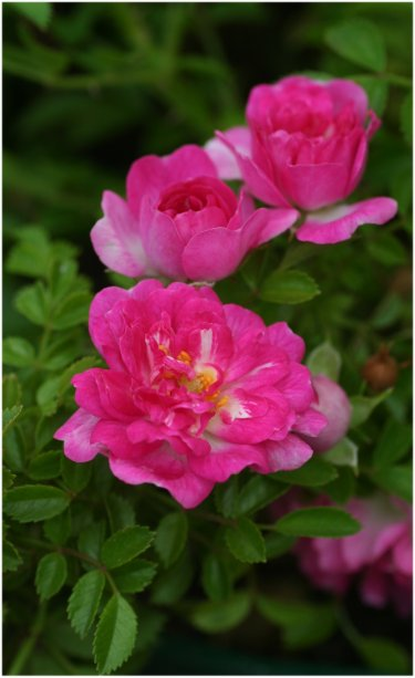 Petite_Pink_Scotch26.jpg