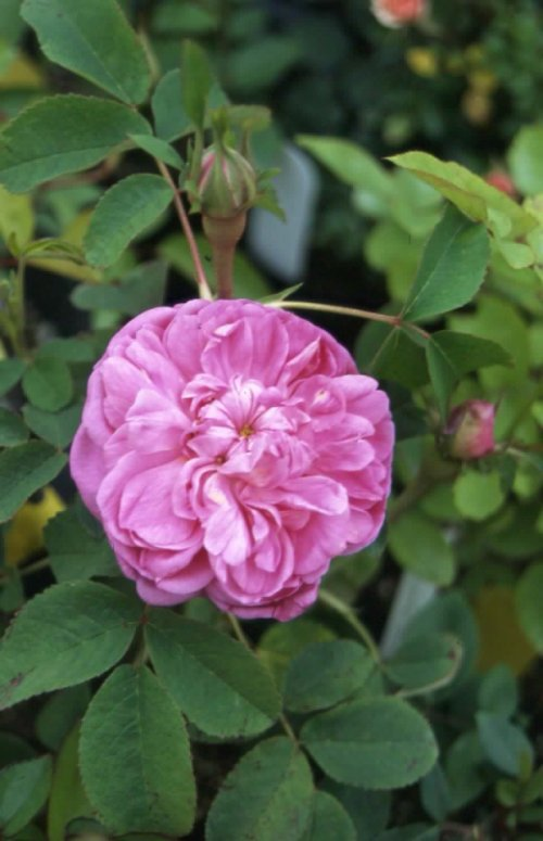 Pickering_Four_Seasons_Rose_1.JPG